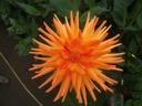 Ruskin marigold